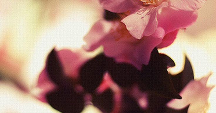 ¿Cuál es el significado de la camelia?. La camelia es una flor fragante y similar a una rosa que es muy popular y muy respetada en el suroeste de China. La camelia aparece en dos colores principales, rojo y blanco, con un espécimen ocasional de color rosa resultante del cruzamiento de los dos colores de la flor.