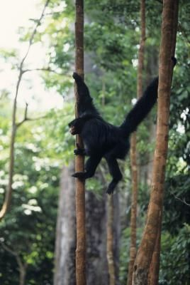 Characteristics of Spider Monkeys
