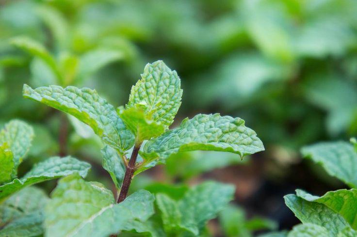 Σαν βότανο ή αιθέριο έλαιο η μέντα μπορεί να χρησιμοποιηθεί σε θέματα προστασίας…      Για καλή τύχη     Κάψτε σε ένα καρβουνάκι μαζί με καθαρό λιβάνι μέντα – δάφνη και μερικά ροδοπέταλα  Θέλετε να προσελκύσετε αγοραστές για το σπίτι