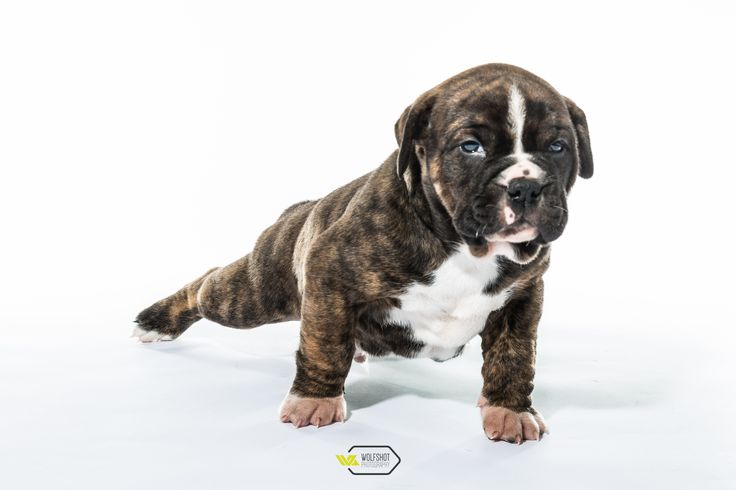 welpen old englisch bulldog dogs pinterest bulldoggen. Black Bedroom Furniture Sets. Home Design Ideas
