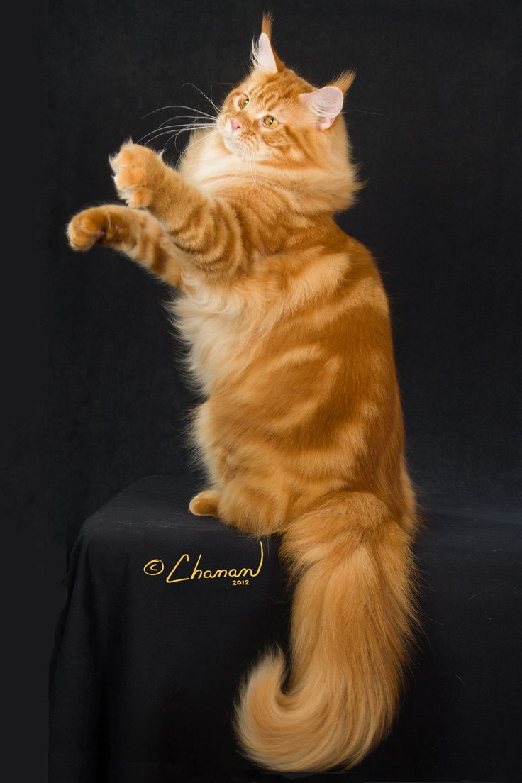 #MaineCoon #Red #Tabby #Blotched #Cats GC, RW MAINE LVRS DIESEL OF SEMPERCOONS