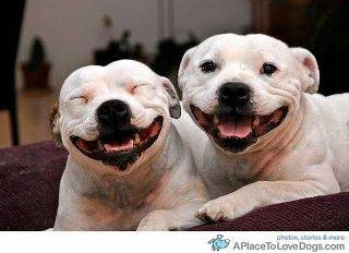 Smile :)Happy Face, Pitbull, Smile Dogs, Funny, Pit Bull, Happy Dogs, Doggie Smile, Happy Puppies, Animal