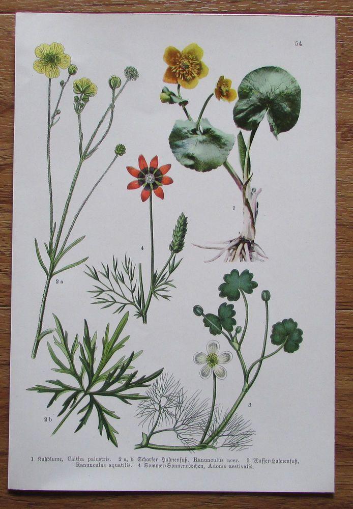 Botanischer Druck - Pflanzen Botanik Druck Atlas des Pflanzenreichs ca. 1920 54