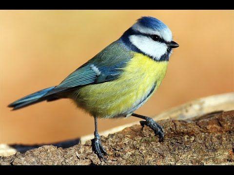 Tierschutz: Die Top 10 der deutschen Gartenvögel - YouTube