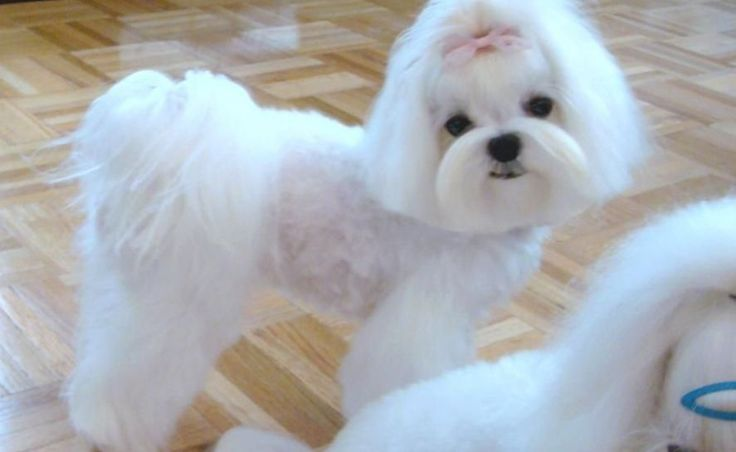 13 Cutest Maltese Haircuts For Your Little Puppy