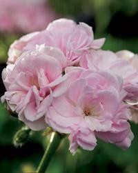Millfield Rose. Pelargonium x hortorum. Kotipelargonit eli vyöhykepelargonit ovat yleisin pelargoniryhmä   Tunne pelargonit   Koti ja puutarha