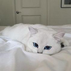Lovely white blue eyed cat