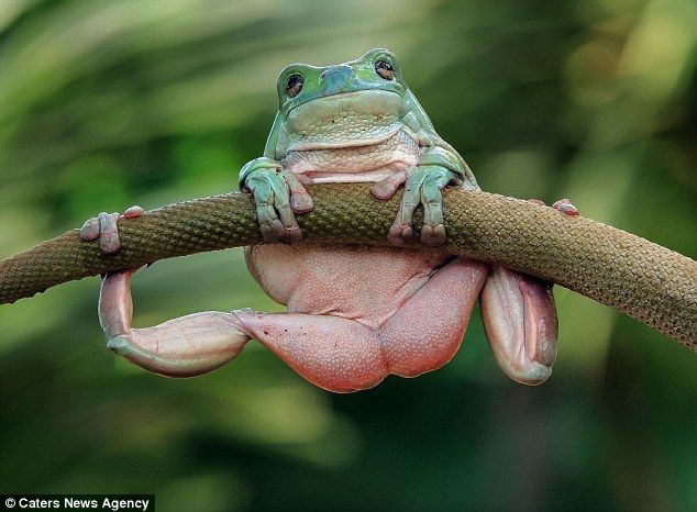 A little help here? The Australian green treefrog wont be winning any bodybuilding contests just yet