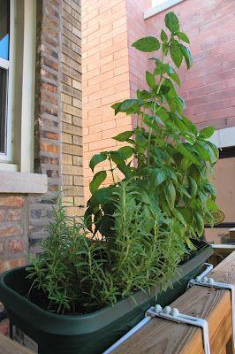 Om zelf kruiden te kweken heb je weinig ruimte nodig: dat kun je zo al doen op je balkon :)    Basilicum Thijm Peterselie  Herbs 101