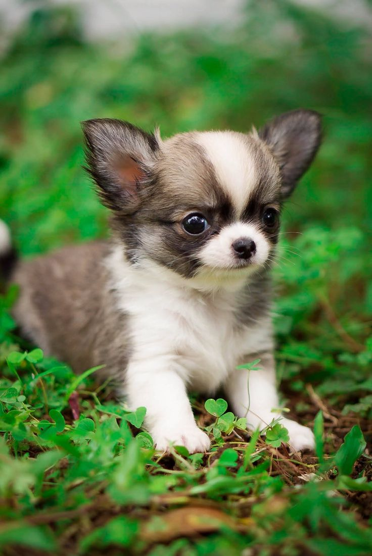 Female chihuahua longhair puppy breed by Rio Farm, click visit find us on instagram