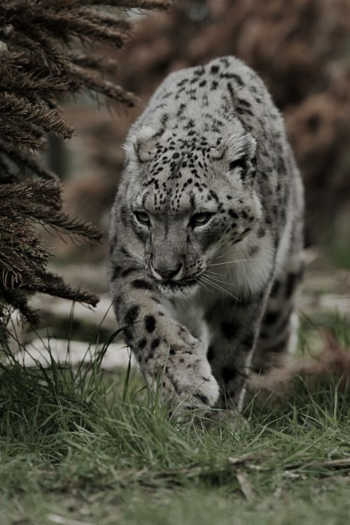 classyxsexxy:Snow Leopard. | cXs