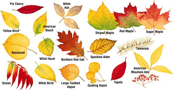 tree identification flashcards - Google Search