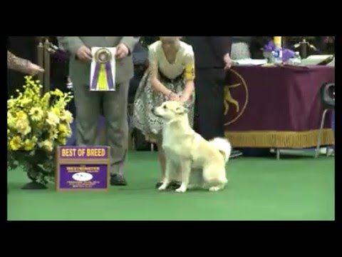 Norwegian Buhund Dog Show 2016 WKC Westminster Kennel Club