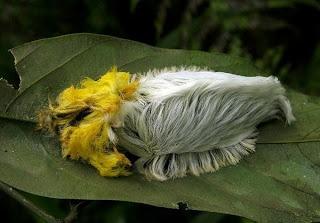 Green living Flannel Moth caterpillar