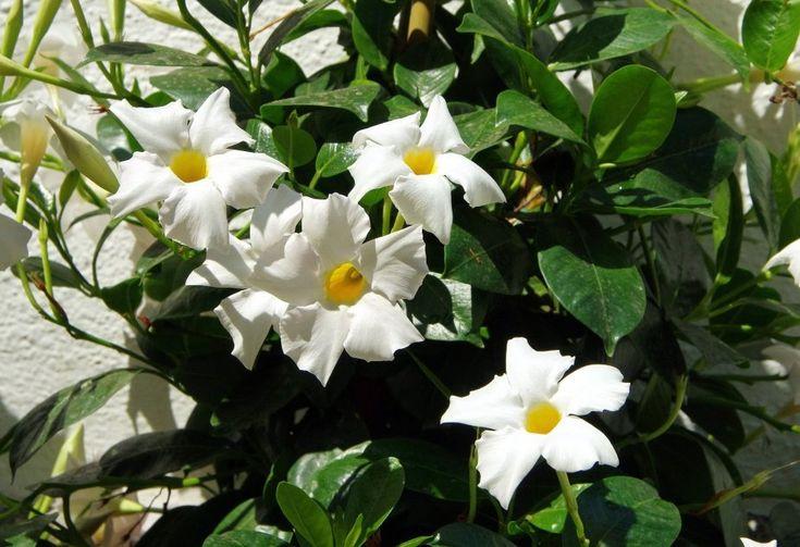 Mandevilla In 2020 Climber Plants Climbers Plants Names Climbing Plants