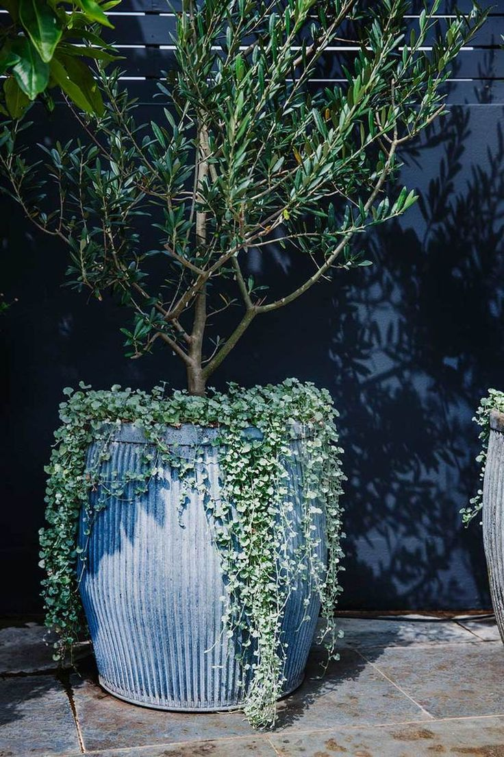 Olive tree. A contemporary use for a classic.Image from Adam Robinson Design's Redfern Rooftop project
