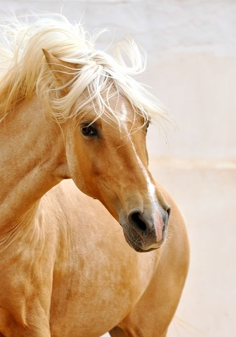 Oh, that blonde mane! - Photograph : Sarah, Ranch El Castille http://www.reiterferien-am-meer.com/