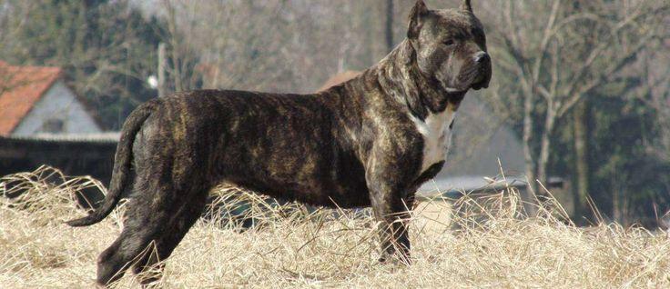 De Perro de Presa Canario (ook wel Dogo Canario, Canary Dog of Presa Canaria) zou afstammen van de kruising van de uitgestorven Bordino Majiro en geïmporteerde Engels Mastiffs. Dit ras werd in de jaren 1800 speciaal ontwikkeld voor honden-gevechten. Tijdens de jaren 1940 werden hondengevechten verboden en is de Perro de Presa Canario bijna uitgestorven. In de jaren 1970 werd dit ras nieuw leven ingeblazen door een Amerikaanse dierenarts, dr. Carl Semencie,.