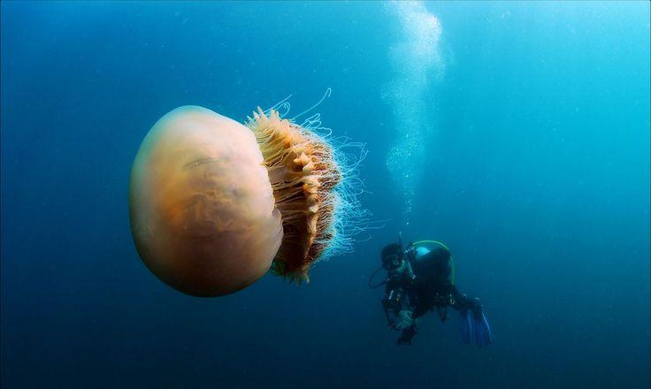 Der Schirm der Gelben Haarqualle misst bis zu einem Meter im Durchmesser und erscheint dunkelrot bis gelb. Die Qualle besitzt 70 bis 150 Randtentakel je Gruppe, die bis zu 36 Meter lang werden können.