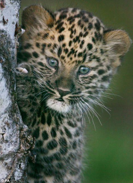 baby leopard #3
