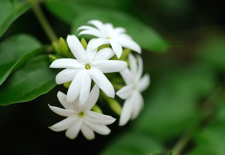 3. Shutterstock Arabian Jasmine