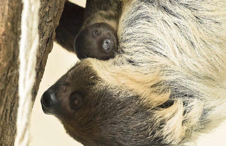 Sloth- tembel hayvan