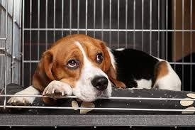 Here is how to get your animal in the crate without all the fighting and moaning. Crate training may be an efficacious way to house train a puppy  #cratetraining