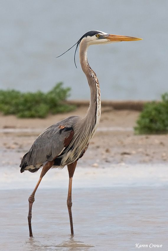 Great Blue Heron-love to see them standing in the pond by my home