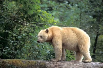 Pacific Wild - Wildlife Conservation on Canada's Pacific Coast - British Columbia - B.C.'s iconic white spirit bear at risk from Enbridge Northern Gateway tankers: research report