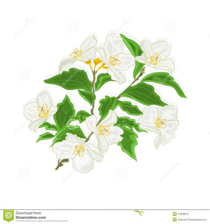 Flower Dibujo: 11 Best Images About Jazmin On Pinterest