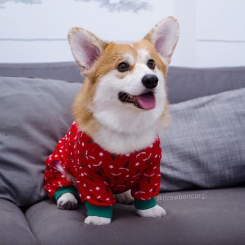 Drewbert the Corgi • Strive to be a splash of color in a grayscale...
