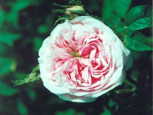 rosa_queen_of_denmark