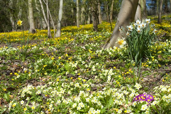 Love this image: Spring primroses and daffodils flowering at Eastertime under the trees in rural woodland - By stockarch.com user: easterstockphotos