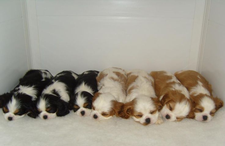 Oh my heart, I want them all !!! Tri Color and Blenheim Cavaliers