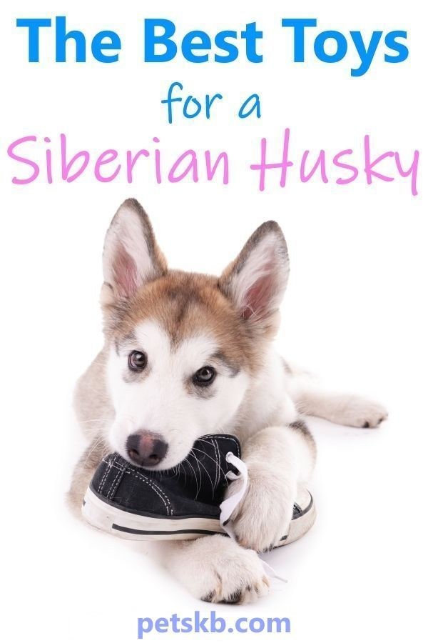 The Three Best Toys For Siberian Huskies That Might Actually Last More Than 5 Minutes Siberianhuskies Huskies Siberianhus With Images Siberian Husky Best Dog Toys Husky