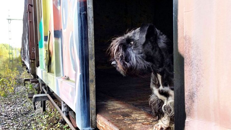Ceskyterrier. Railway Photo: Peter Mannerfors