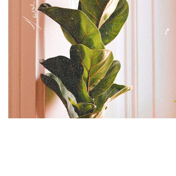 'tis ma baby boo fiddle leaf fig. Well, half of it. You ...