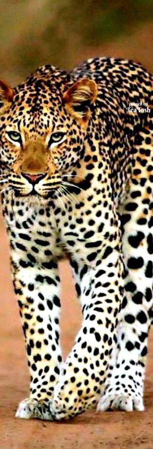 ❇Téa Tosh❇ Leopard