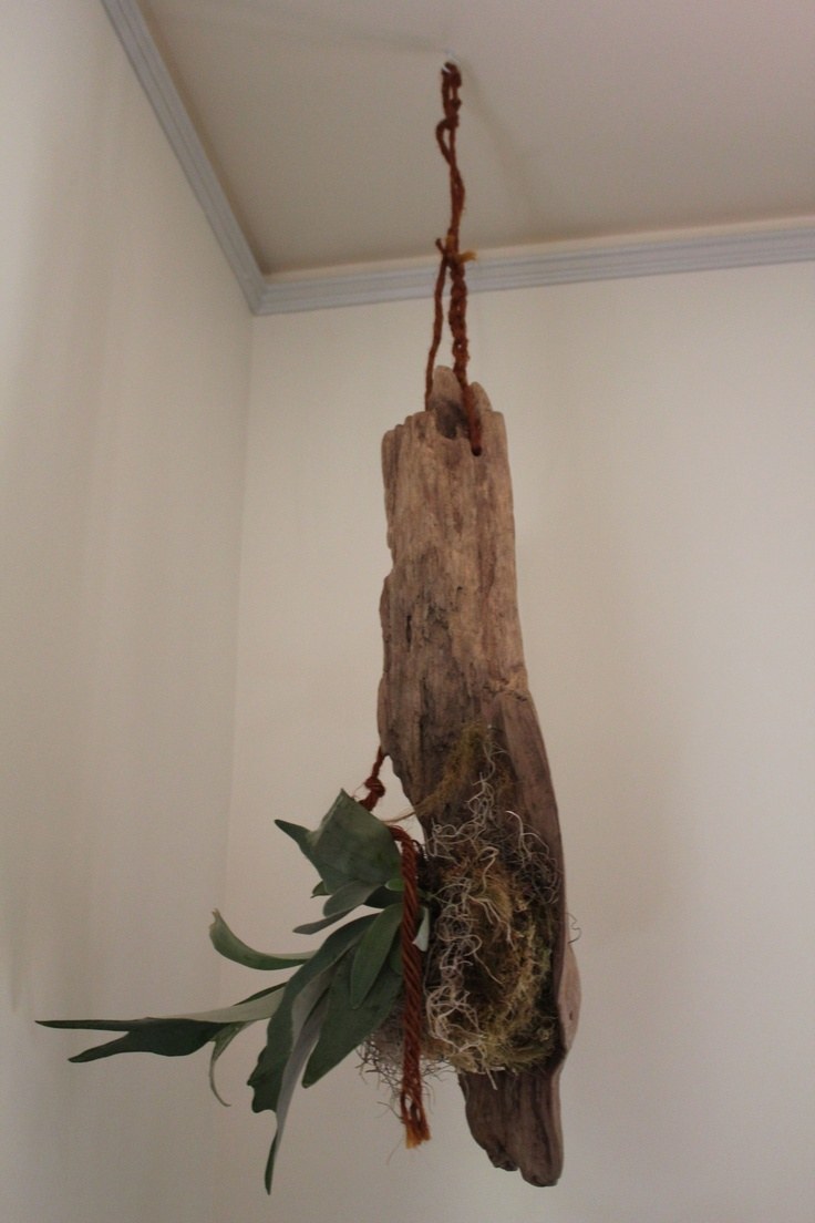 stag horn fern mounted to drift wood <3