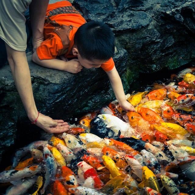 39 best koi pond images on pinterest koi ponds garden for Koi fish culture