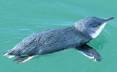 Visit the home of Blue Penguins, smallest of all penguins, on the Otago Peninsula