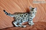 Outstanding bengal kittens for sale | Female, Male Bengal Kitten in Colorado Springs CO | 3960379798 | Cats on Oodle Marketplace
