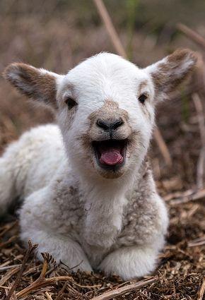 Cute Baby sheep Laying On Straw