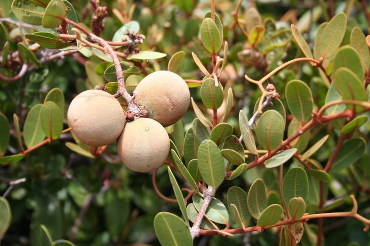 Ancylobotrys capensis (White apricot) - Warthog Lodge