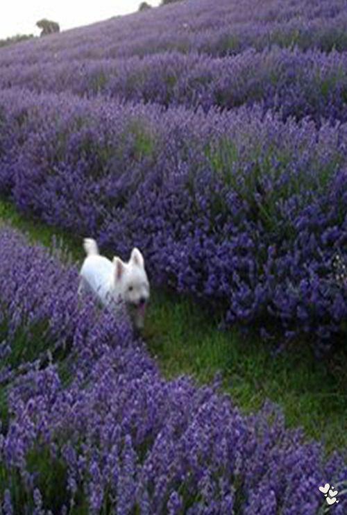 Westie running in a field of lavender.