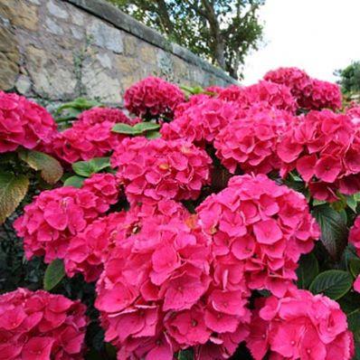 Red Sensation Hydrangea ♥ ♡༺✿ ☾♡ ♥ ♫ La-la-la Bonne vie ♪ ♥❀ ♢♦ ♡ ❊ ** Have a Nice Day! ** ❊ ღ‿ ❀♥ ~ Tue 2nd June 2015 ~ ❤♡༻ ☆༺❀ .•` ✿⊱ ♡༻ ღ☀ᴀ ρᴇᴀcᴇғυʟ ρᴀʀᴀᴅısᴇ¸.•` ✿⊱╮ ♡ ❊
