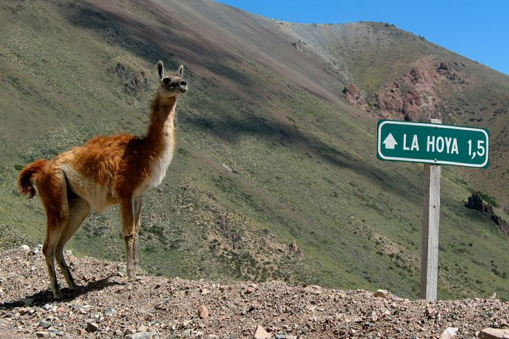 Guanaco below the La Hoya ski resort outside of Esquel, Argentina by Guillermo Imsteyf | from Guillermo Imsteyf  http://www.guillermoimsteyf.com/index.php?/fotografia/continentes/