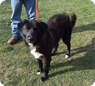 Lisbon, OH - Labrador Retriever/Border Collie Mix. Meet Munch, a dog for adoption. http://www.adoptapet.com/pet/17196894-lisbon-ohio-labrador-retriever-mix