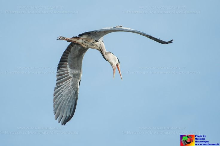 #airone #ali #volare #becco #natura