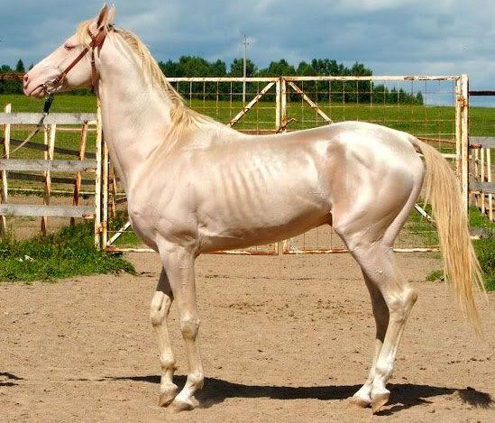A raça Akhal-Teke tem origem no Turcomenistão e corre risco de extinção. Mais esguio e de coloração que beira o dourado-metálico, os cavalos albinos da raça Akhal-Teke são considerados os mais bonitos do mundo. O dono dessa belezoca é o presidente do Turcomenistão, Kurbanguly Berdymukhamedo. O animal da foto é vencedor de vários concursos ao (...)